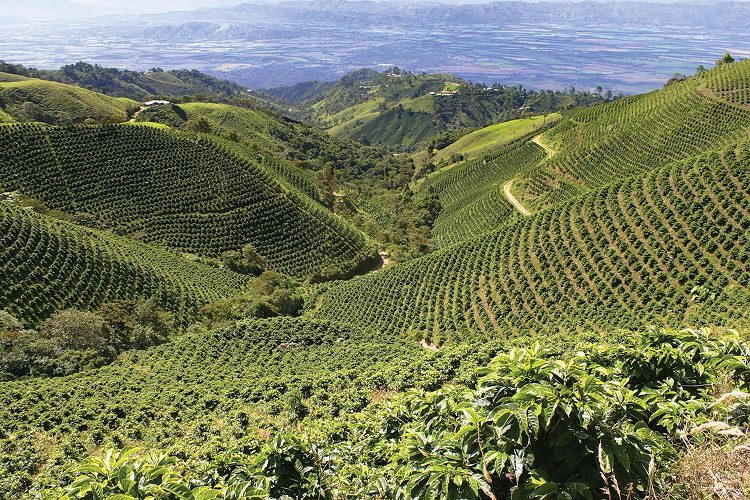 What Goes Into Making Organic Coffee?
